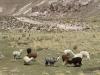 Lamas am Wegesrand