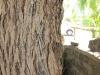 die Stabheuschrecke auf der Baumrinde bestens getarnt