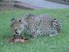 Geparden aus nächster Nähe kennenzulernen