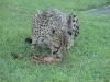 auf der Farm lebender Gepard