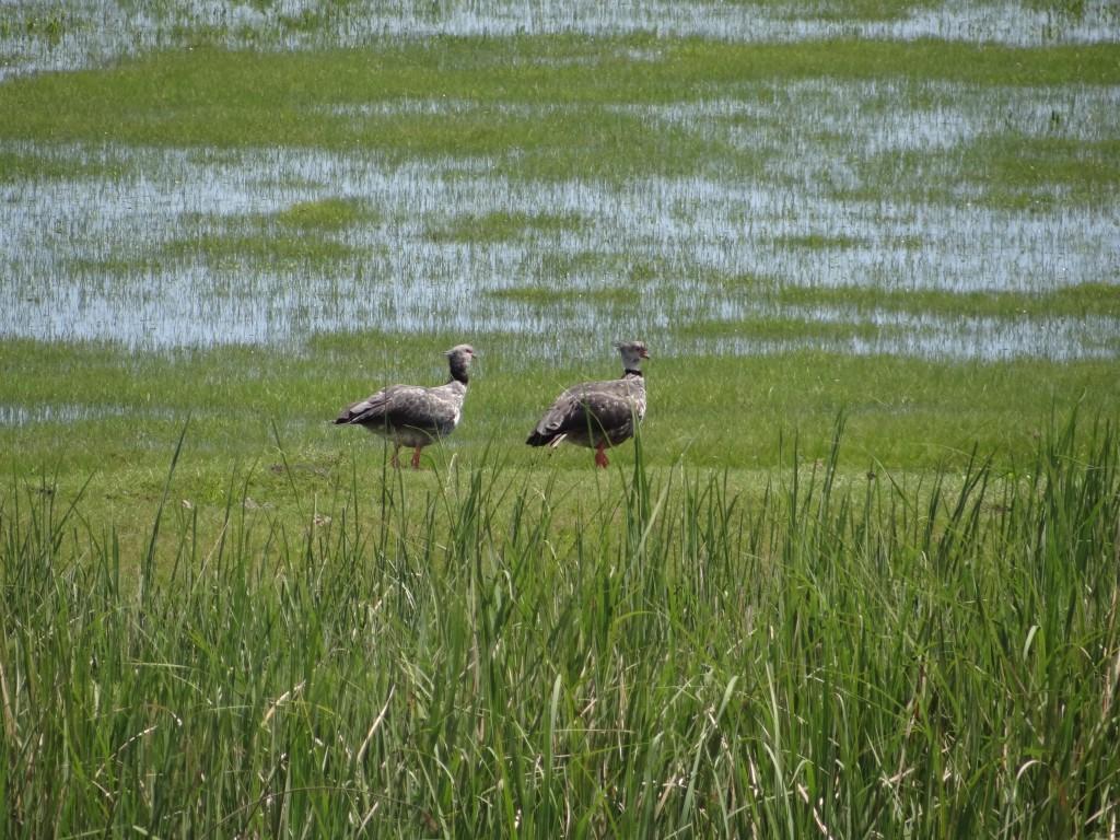 Riesenvögel die überall in den Sumpfgebieten findet