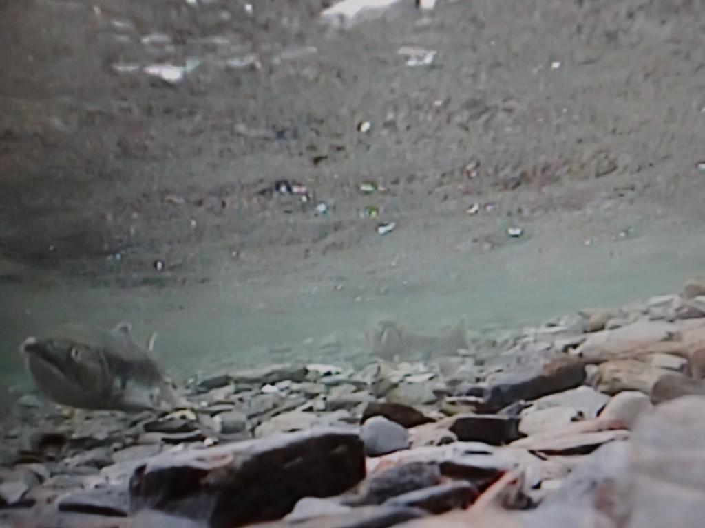 Lachse beim Laichen mit der Unterwasserkamera