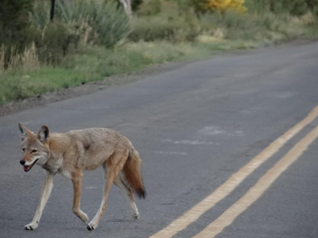 ein Kojote kreuzt unerschrocken unseren Weg