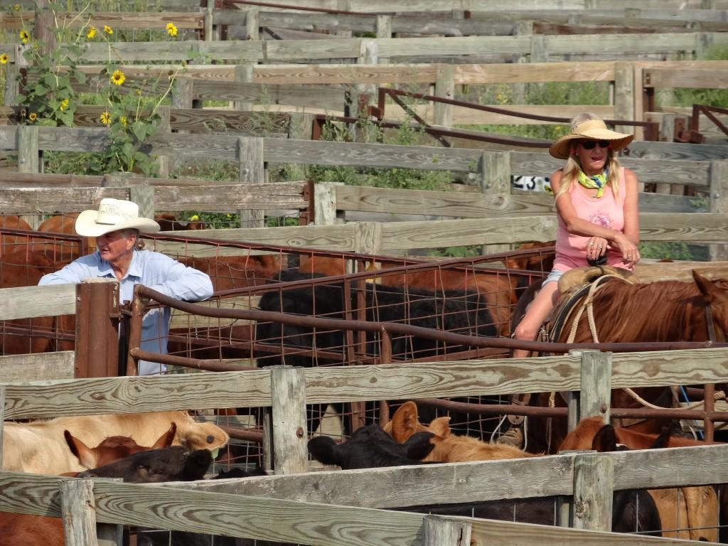 Cowboys und Cowgirls treiben die Tiere zur Auktion