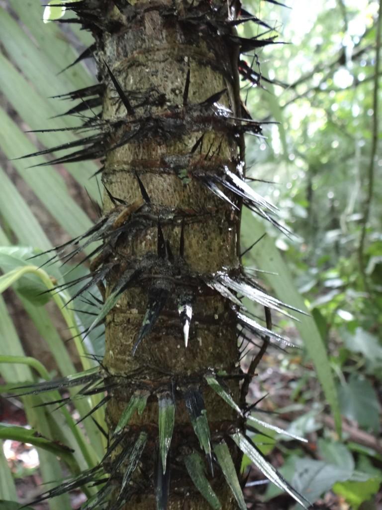 die Dornen dieses Baumes wurden bei den Mayas zum Zungen- und Körper-Piercing verwendet