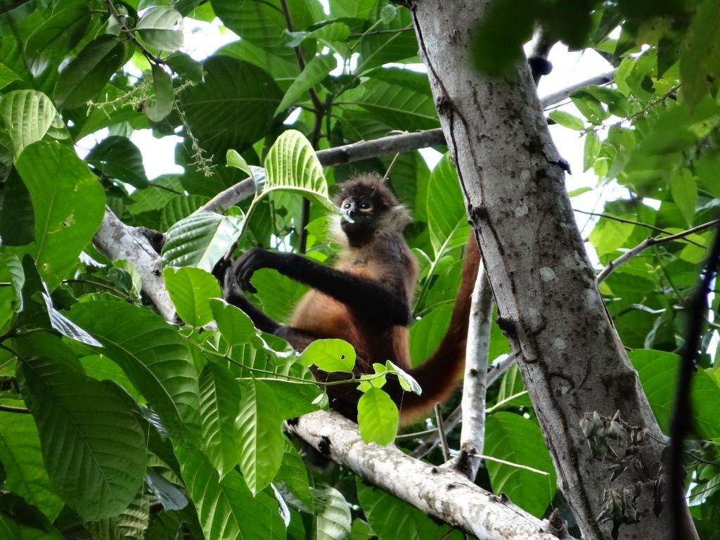 Spider Monkey (Klammeraffe)