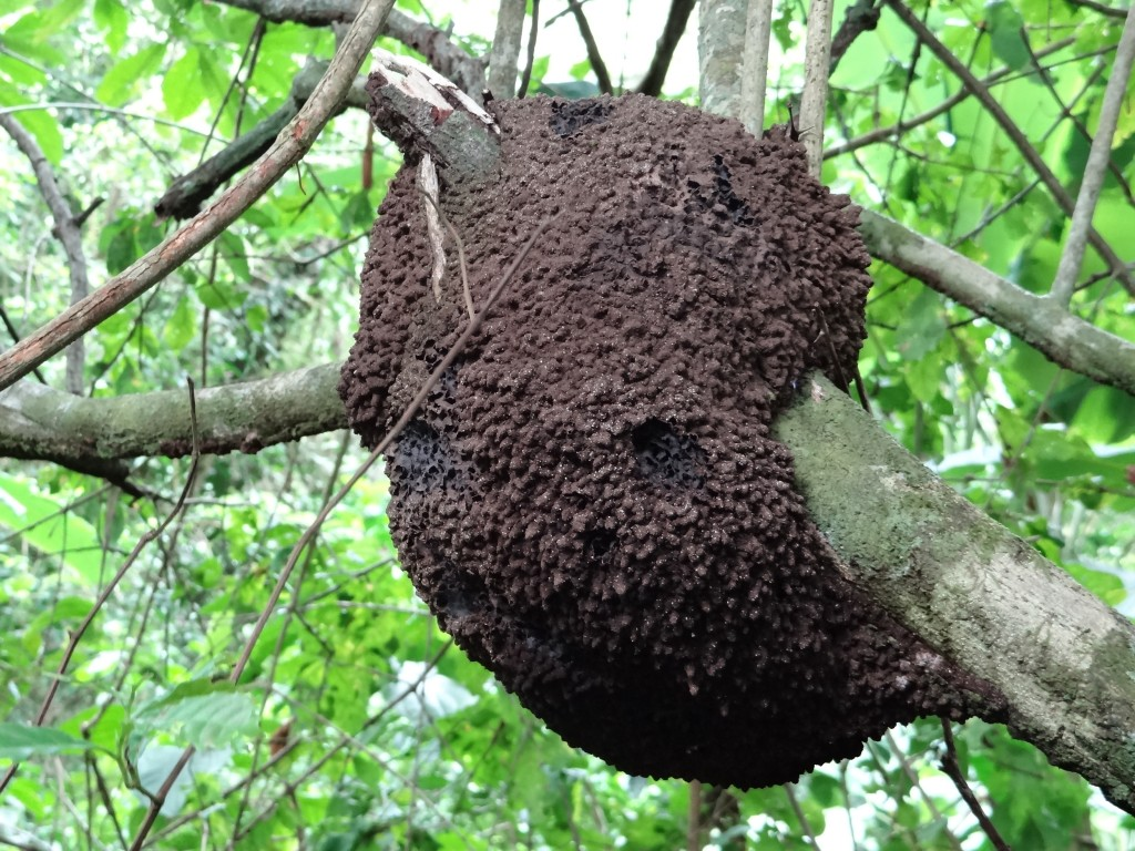 Termitenbau um eine Astgabel