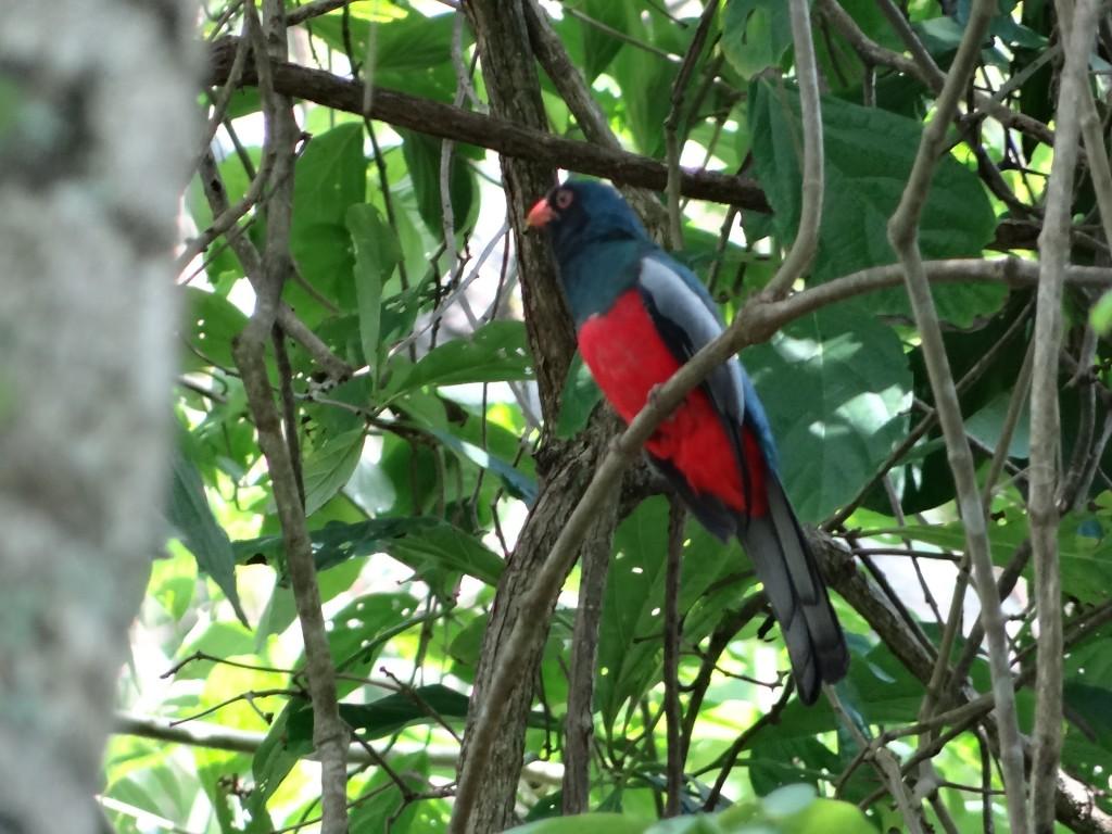 dieses und das folgende Bild: Verwandte des Quetzal
