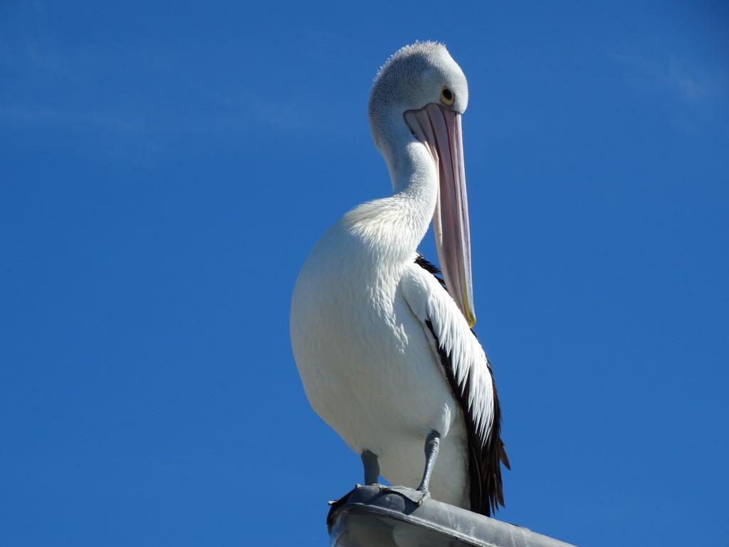 am Peer begrüßt uns ein Pelikan