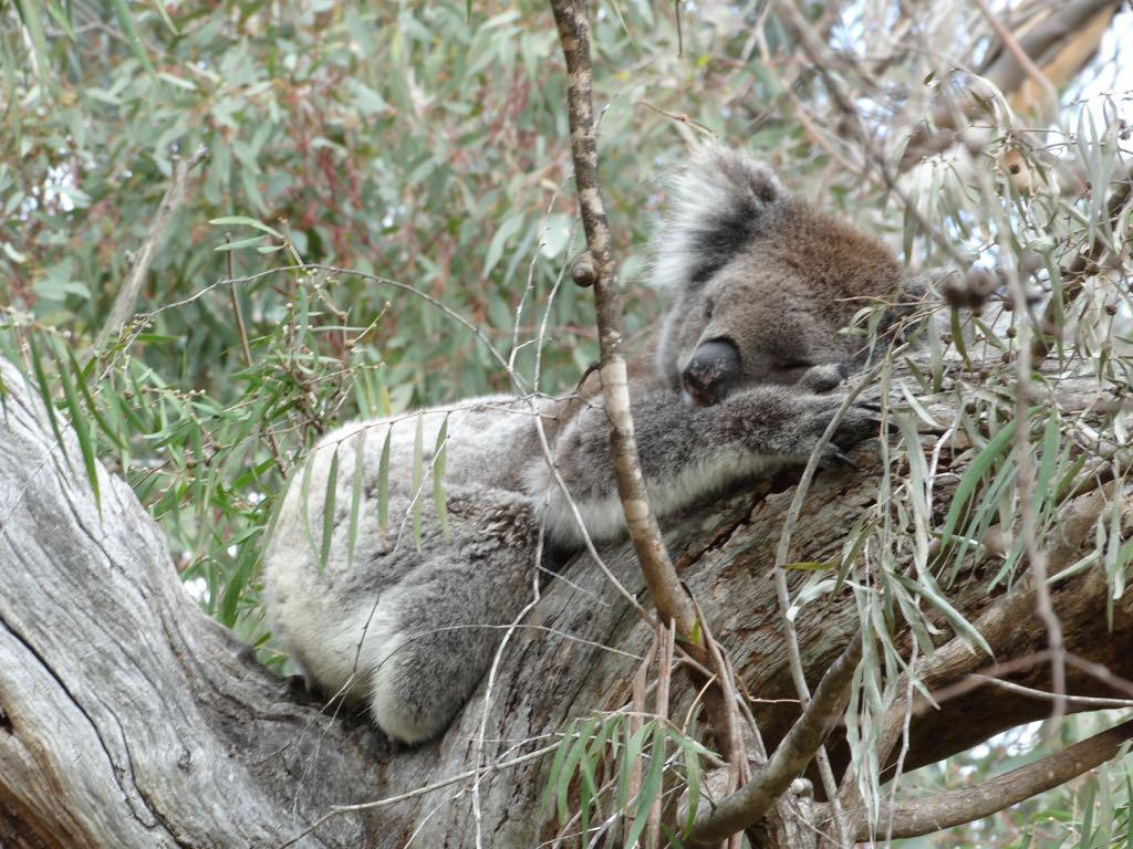 Koala döst in einer Astgabel
