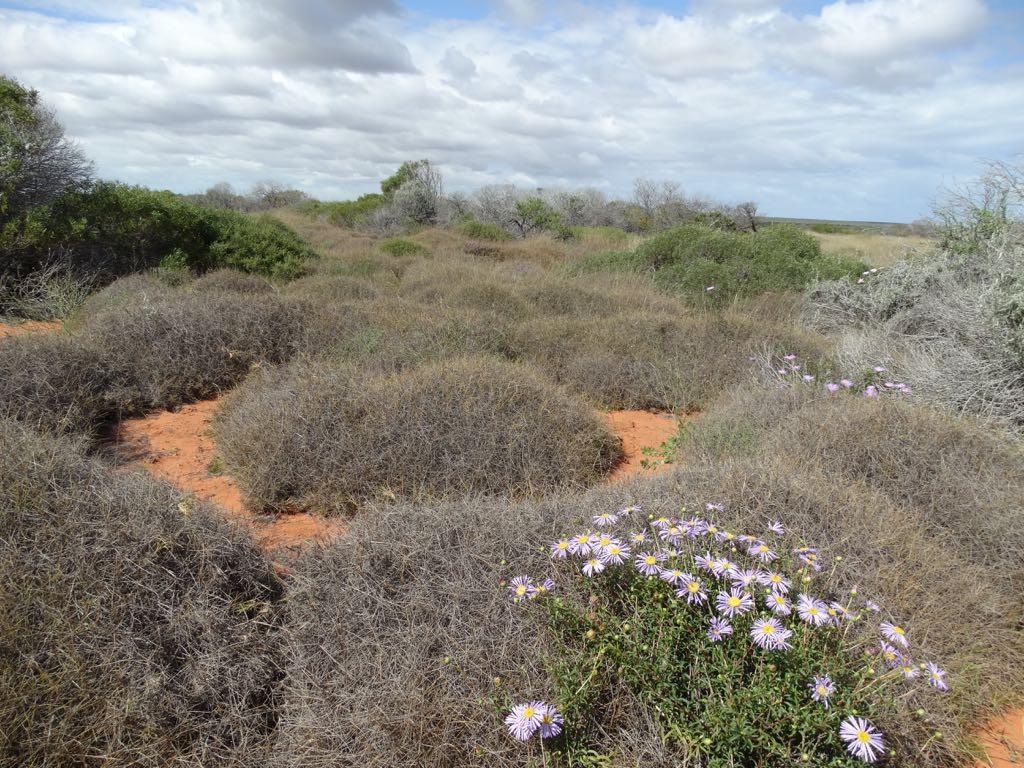 Spinefex Gras, undurchdringlich wie Stacheldraht, dient Kleinstlebewesen als Versteck