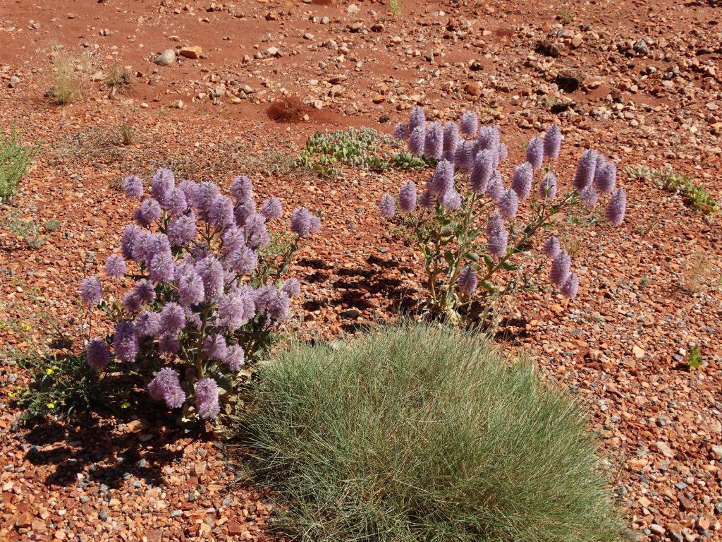 Blumen mit Spinefexgras