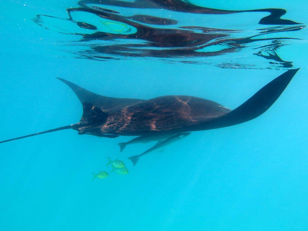 Manta begleitet von Putzerfischen ....