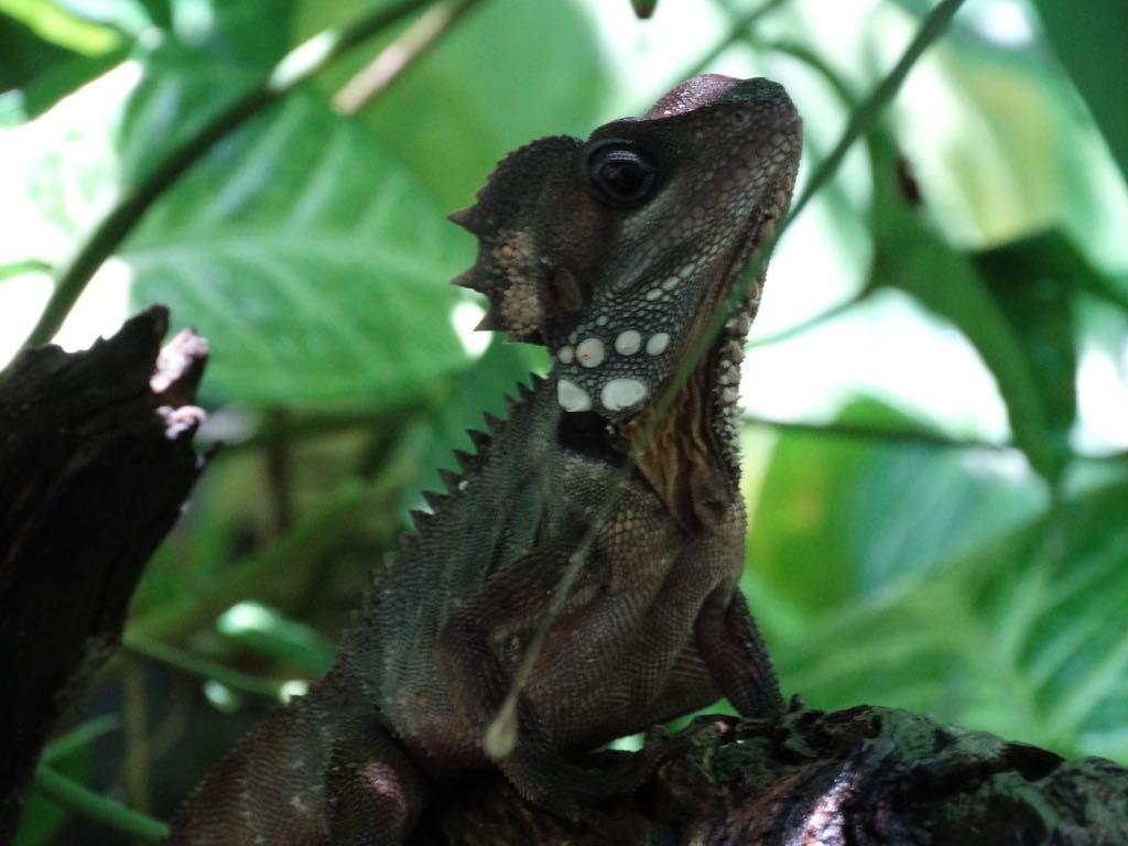 und das ist ein Boyds Dragon (ca. 12 cm), der sich durch Bewegungslosigkeit tarnt