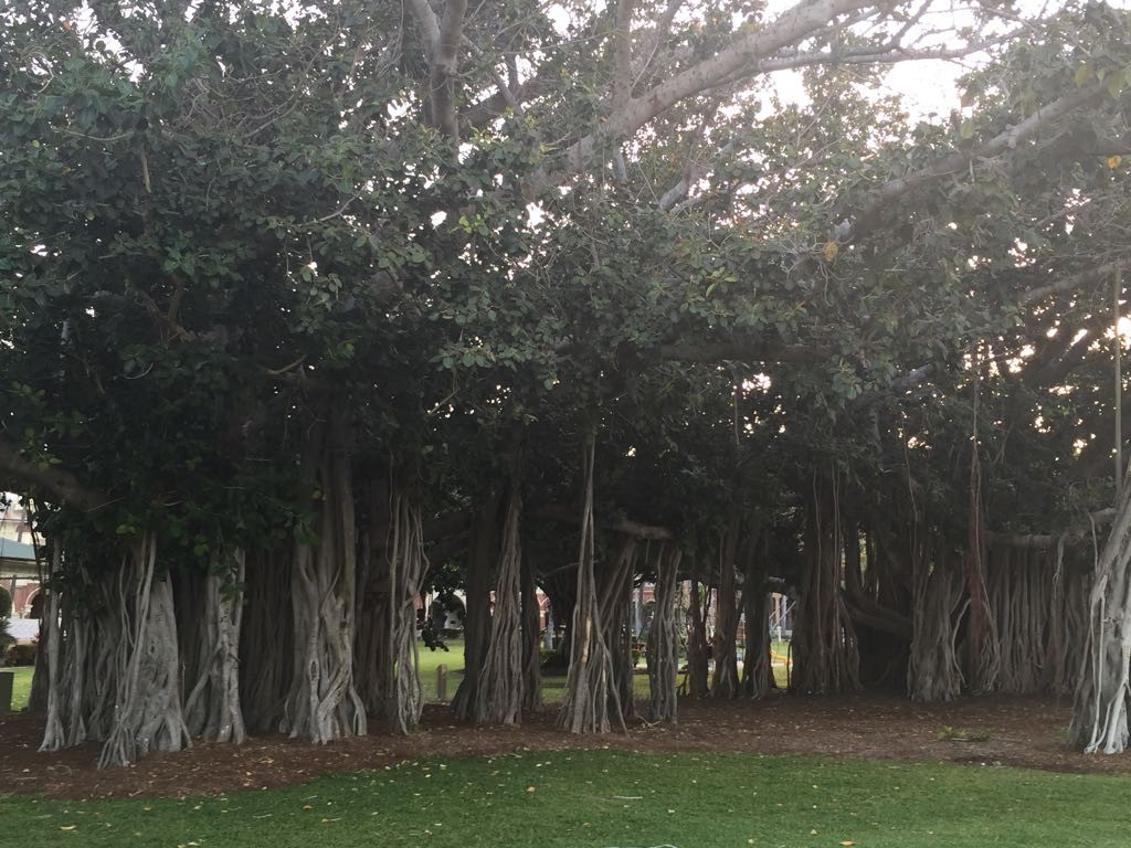 ein Fig Tree, ein Baum von außergewöhnlicher Wuchsform