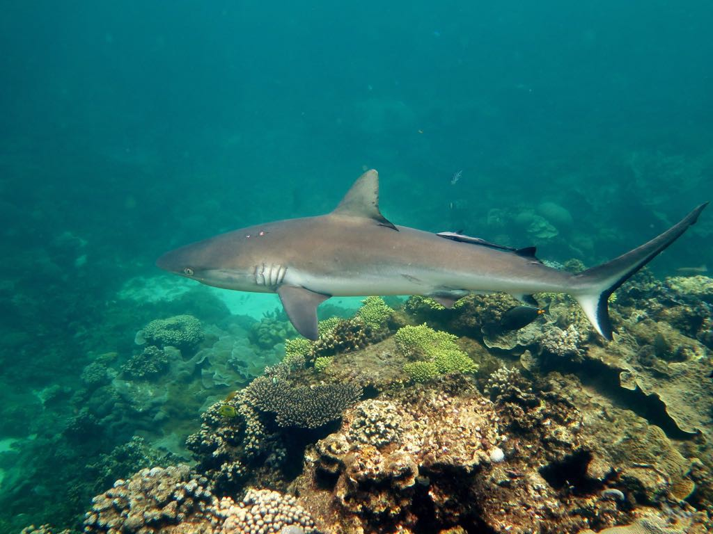 Sharks - Grey Reef Shark