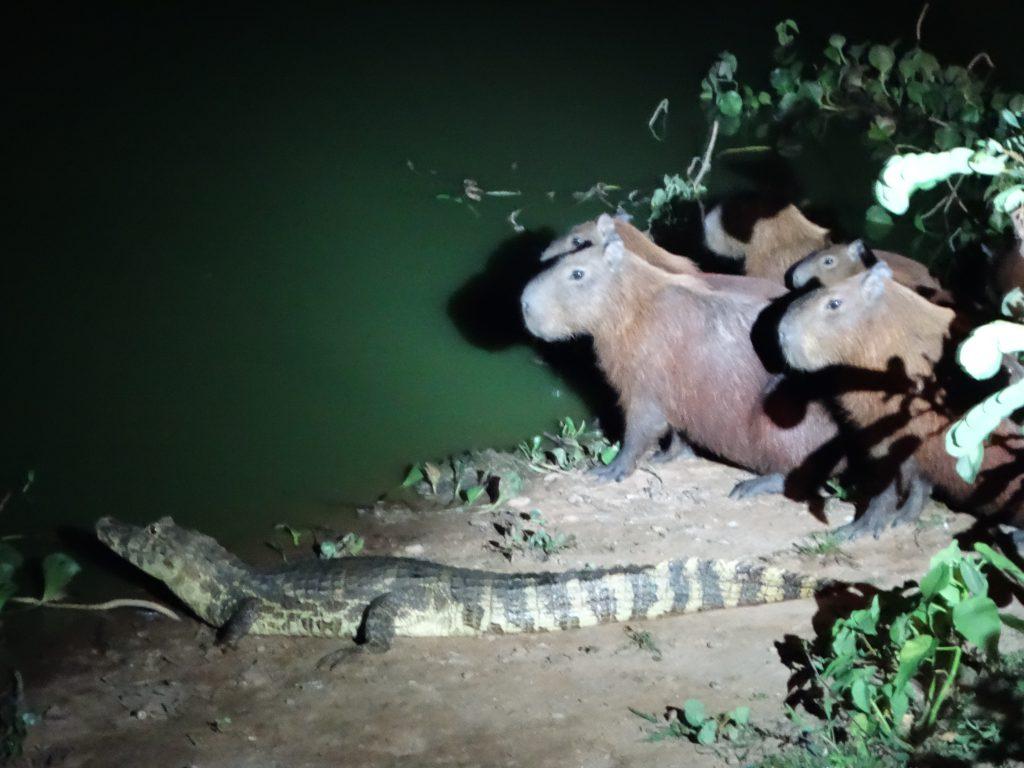 Die Wasserschweine sind als Beute definitiv zu groß für den kleinen Kaiman