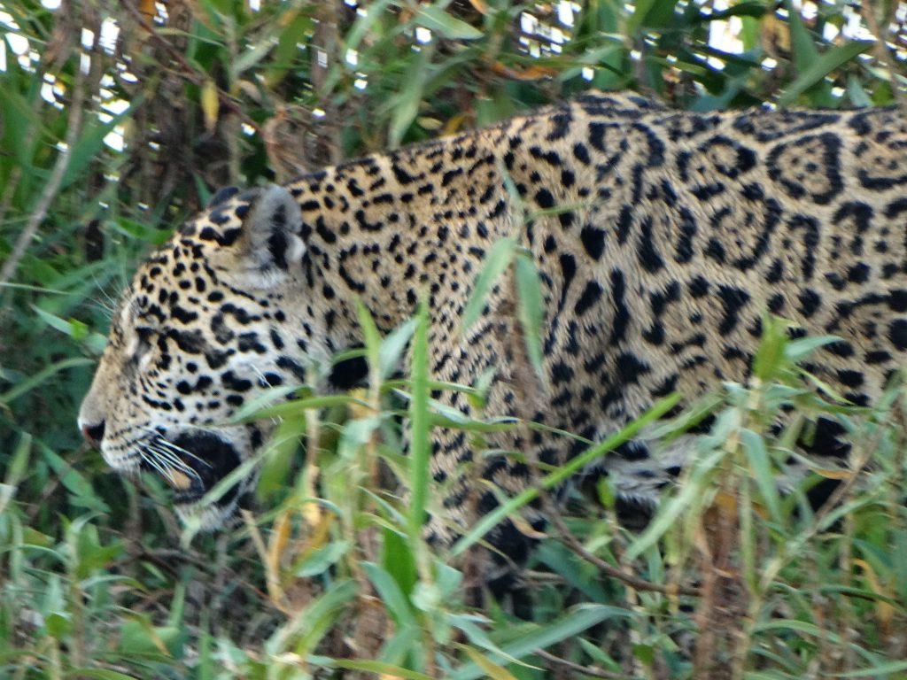 unser 1. Jaguar
